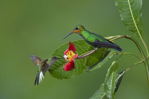 Psychotria elata et colibris ; source
