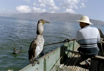Pêche au cormoran en Chine - l'anneau autour du cou...