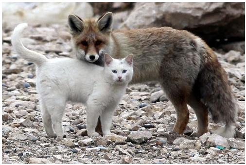 white cat & fox