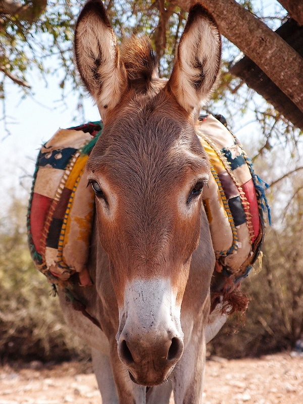 Moroccan Donkey by ahd257 on Flickr