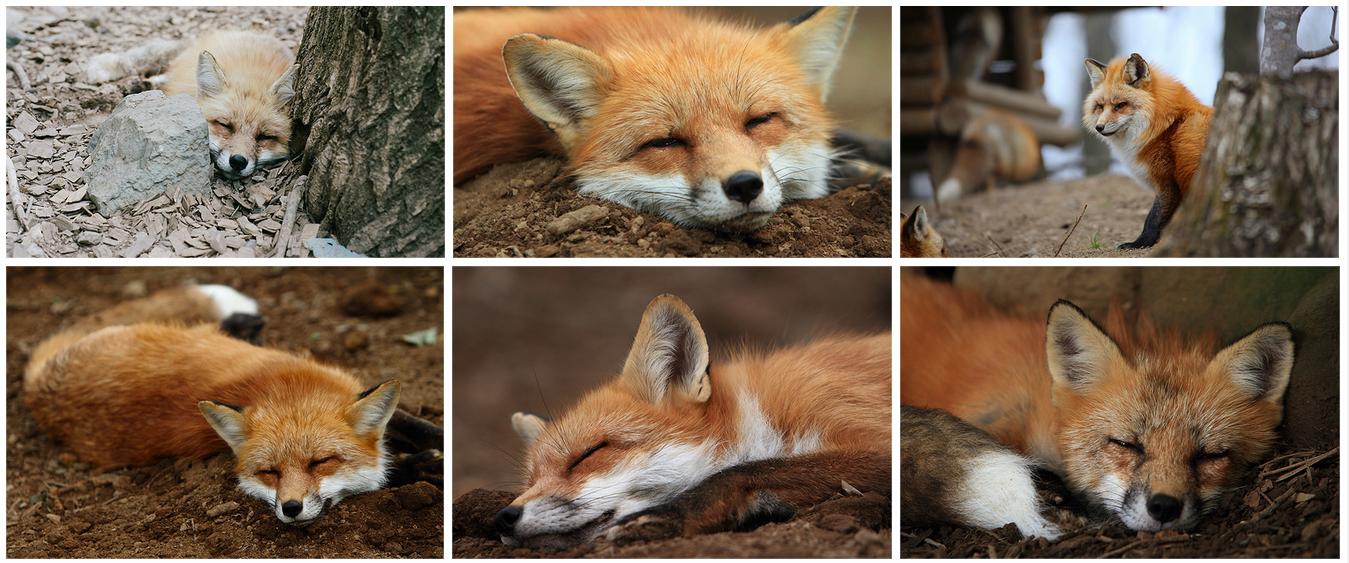 zao fox village flickr 1